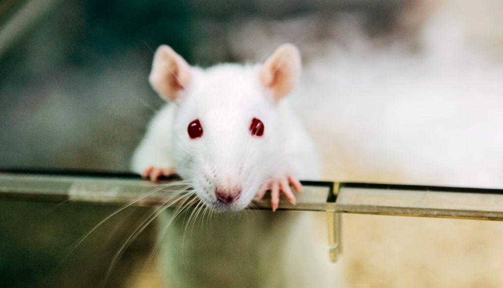 Крысы в лабиринте: как хронический стресс разрушает жизнь и что с этим ...